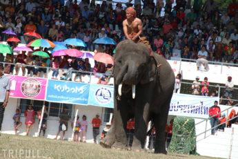 スリン県の象祭り | 2017年度の日程のサムネイル画像