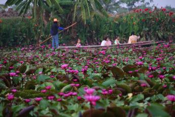水面に咲き乱れる蓮の花々!ナコンパトム県の蓮の池 Red Lotus Floating Marketのサムネイル画像