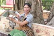 虎+ワニ+象と触れ合える!赤ちゃんトラと記念撮影&迫力満点のワニや象のショー!<日本語ガイド/往復ホテル送迎> <br/>ツアーID:6878のサムネイル画像