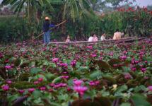 水面に咲き乱れる蓮の花々!ナコンパトム県の蓮の池 Red Lotus Floating Market